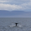 080918 3 humpbacks pano