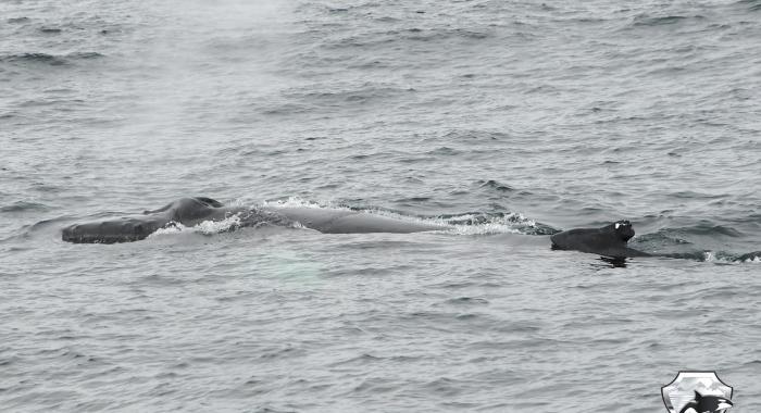 0908 humpback Olafsvik