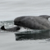 0908 pilot whale face Olafsvik