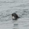 0908 pilot whale spyhop 2 Olafsvik