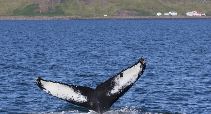 090818 humpback Darwin