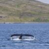 090818 humpback tail Holmavik am