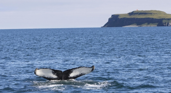 090818 humpback with Grimsey am