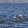 090818 pilot whales Holmavik