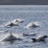 090818 whitebeak dolphins