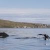 090918 2 humpback with Drangsnes