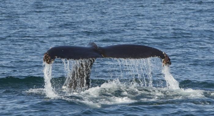 090918 humpback tail