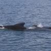 090918 pilot whales