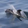 090918 whitebeak dolphin