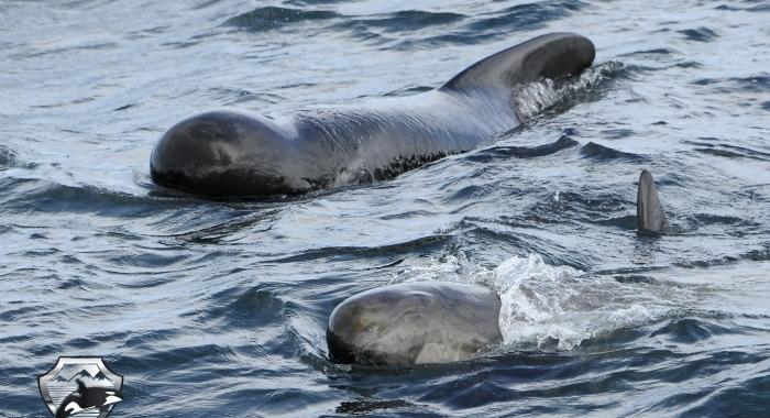 1008 pilot whales Olafsvik