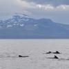 1009 pilot whales