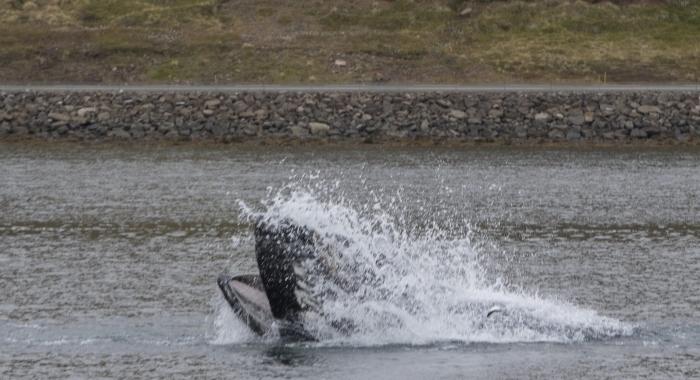 100918 lunge feeding humpback Holmavik