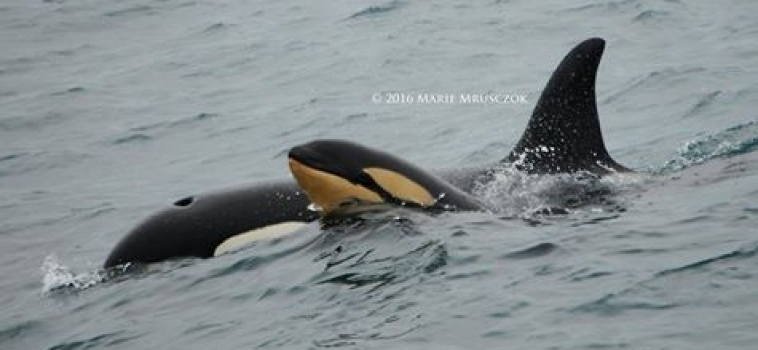 30 orcas and 3 humpback whales today!