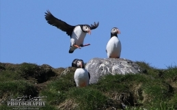 Our puffin tour season is well and truely underway