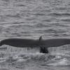 110718 humpback fluke