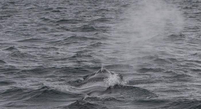 110718 humpback whale blow