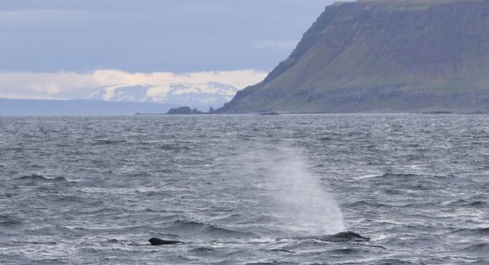 110718 humpback whale