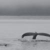 110818 2 humpbacks