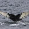 110818 humpback ID