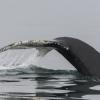 110818 humpback fluke 2