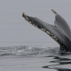 110818 humpback fluke 3