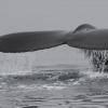 110818 humpback fluke