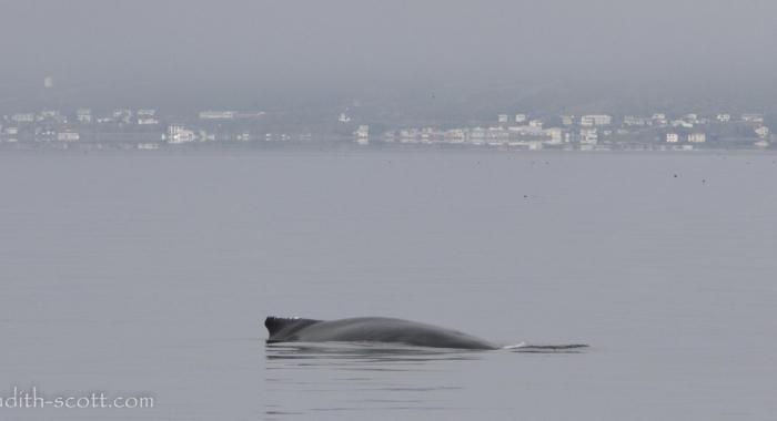 110818 humpback with Holmavik