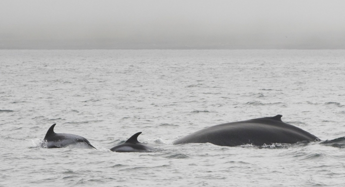 110818 humpback with dolphins