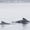 110818 pilot whales
