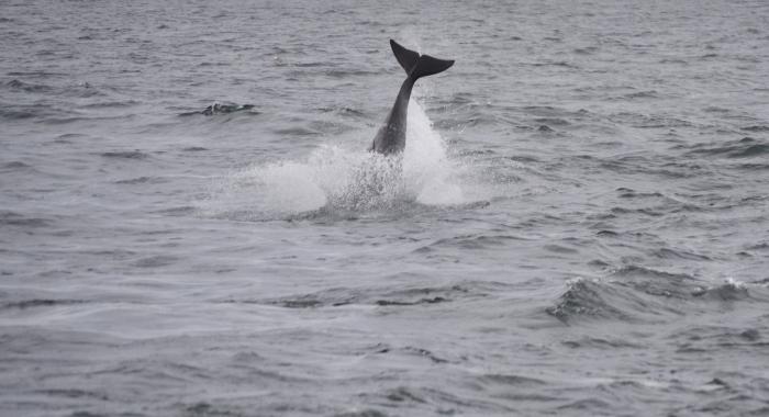 1208 dolphin tail Olafsvik