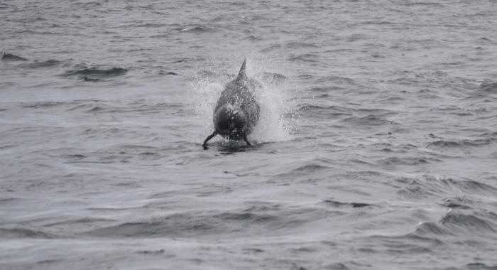 1208 pilot whale