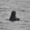 1208 pilot whale spy hop