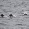 1208 pilot whales Olafsvik