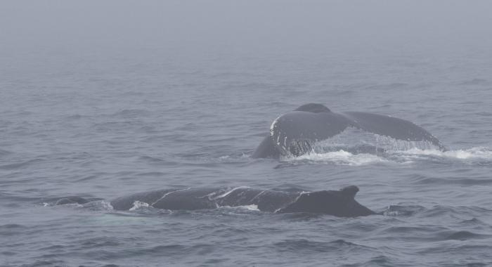 120818 2 humpbacks in the fog
