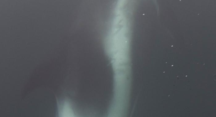 120818 bowriding dolphin