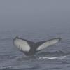 120818 humpback tail ID in mist