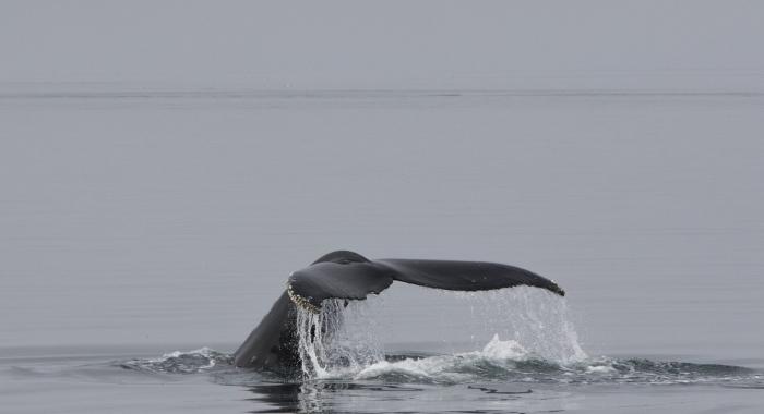 120818 humpback tail_
