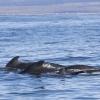 120918 pilot whales