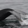 130718 humpback fluke