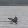 130718 humpback tail