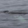 130718 humpback whale