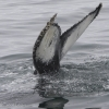 130718 humpback whale tail