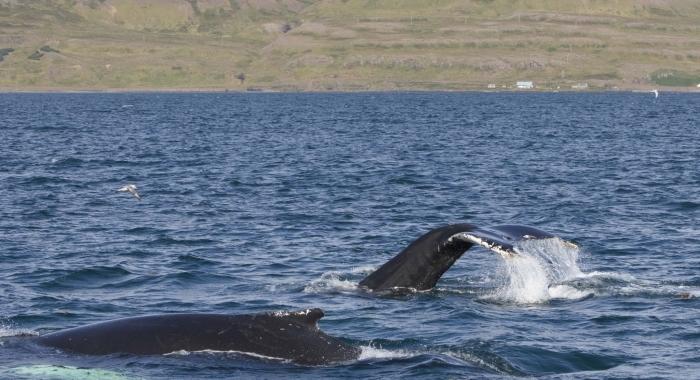 130818 2 humpback whales