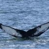 130818 humpback Darwin