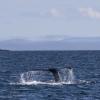 130818 humpback tail