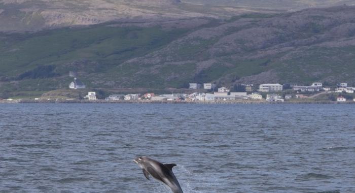 130818 jumping whitebeak dolphin