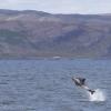 130818 whitebeak dolphin leaping