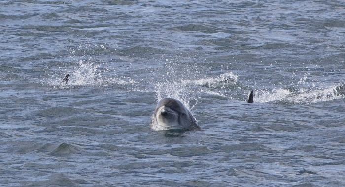 130818 whitebeak dolphin