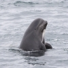 130918 pilot whale spy hop