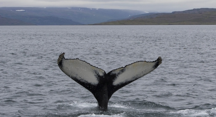 140718 big humpback fluke